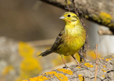 Yellowhammer on the branch Royalty Free Stock Images