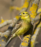 Yellowhammer on the branch Royalty Free Stock Image