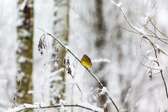 Yellowhammer on a branch Stock Photo