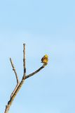 Yellowhammer on a branch Stock Image