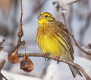 Yellowhammer on branch, winter time Royalty Free Stock Photography