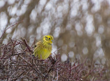 Yellowhammer. Bunting yellow bird perched on the hedge Royalty Free Stock Photo
