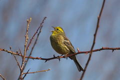 Yellowhammer, citrinella del Emberiza Immagine Stock