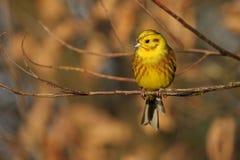 Yellowhammer - citrinella del Emberiza Immagini Stock Libere da Diritti