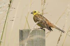 Yellowhammer (citrinella Emberiza) на столбе Стоковая Фотография
