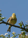 Yellowhammer (citrinella Emberiza) Στοκ Φωτογραφίες