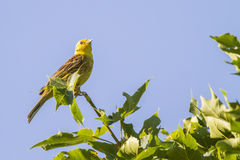 Yellowhammer (citrinella Emberiza) Στοκ Εικόνες