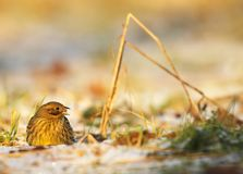 Yellowhammer eating seeds and grain on the field. Stock Image