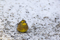 Yellowhammer  eating seeds Stock Images