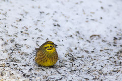 Yellowhammer  eating seeds Stock Photography