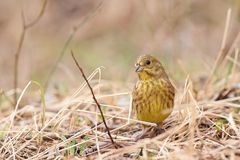 Yellowhammer Emberiza cintrinella in the grass Stock Photography