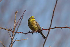 Yellowhammer , Emberiza citrinella Royalty Free Stock Photo