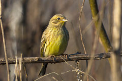 Yellowhammer  / Emberiza citrinella Royalty Free Stock Photo