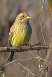 Yellowhammer  / Emberiza citrinella Royalty Free Stock Photography