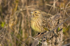 Yellowhammer  / Emberiza citrinella Stock Images