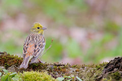 Yellowhammer. Emberiza citrinella. Royalty Free Stock Photo