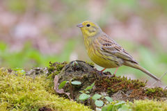 Yellowhammer. Emberiza citrinella. Stock Photography