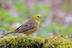 Yellowhammer. Emberiza citrinella. Stock Images