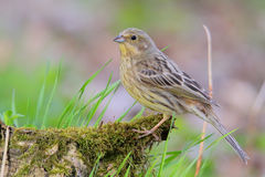 Yellowhammer. Emberiza citrinella. Stock Photo
