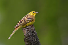 Yellowhammer. Emberiza citrinella. Stock Image