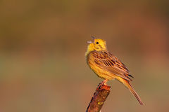 Yellowhammer. Emberiza citrinella. Royalty Free Stock Images