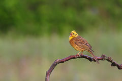 Yellowhammer. Emberiza citrinella. Royalty Free Stock Image