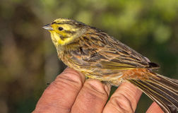 Yellowhammer, Emberiza citrinella, bird in a womans hand after bird banding Stock Photo
