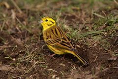 Yellowhammer - Emberiza citrinella Stock Photos