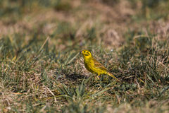Yellowhammer (Emberiza citrinella) Royalty Free Stock Images