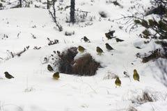 Yellowhammer, Emberiza citrinella Royalty Free Stock Photo