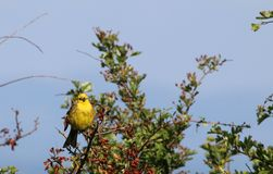 Yellowhammer (Emberiza citrinella). This image shows a yellowhammer perched on a twiggy branch with a bush of green leaves behind him Royalty Free Stock Photos