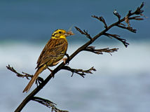 Yellowhammer. (Emberiza citrinella)-with insect on  North Island of  NZ Stock Photography