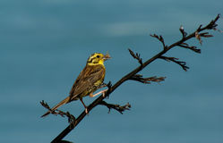 Yellowhammer Stock Image