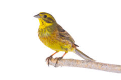 Yellowhammer Emberiza citrinella Royalty Free Stock Image