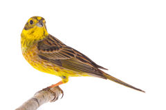 Yellowhammer Emberiza citrinella Stock Photos