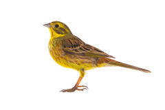 Yellowhammer Emberiza citrinella Stock Photo