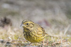 Yellowhammer (Emberiza citrinella) Royalty Free Stock Photography