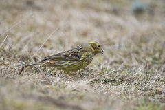 Yellowhammer (Emberiza citrinella) Stock Photography