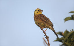 Yellowhammer, Emberiza citrinella Royalty Free Stock Photos