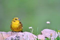 Yellowhammer, Emberiza citrinella. Royalty Free Stock Photos