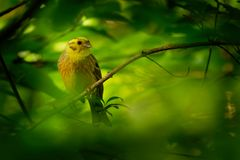 Yellowhammer - Emberiza citrinella passerine Vogel in der mit dem Kopfe stoßenden Familie, die zu Eurasien gebürtig ist und zu ne stockfoto