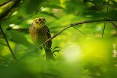 Yellowhammer - Emberiza citrinella passerine Vogel in der mit dem Kopfe stoßenden Familie, die zu Eurasien gebürtig ist und zu ne stockbilder