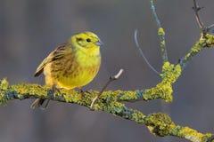 Yellowhammer - Emberiza citrinella passerine Vogel in der mit dem Kopfe stoßenden Familie, die zu Eurasien gebürtig ist und zu ne lizenzfreie stockbilder