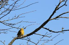Yellowhammer (Emberiza citrinella). A yellowhammer perched in bare tree, against a blue sky. This picture was taken in The Cotswold Hills, Gloucestershire Royalty Free Stock Photo