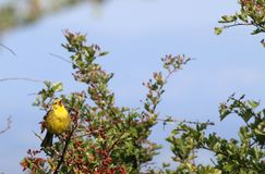 Yellowhammer (Emberiza citrinella). This picture shows a yellowhammer perched on a twiggy branch. The bird has his beak open as if singing his distinctive song Royalty Free Stock Photography