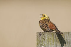 Yellowhammer (Emberiza citrinella) śpiew Obrazy Stock