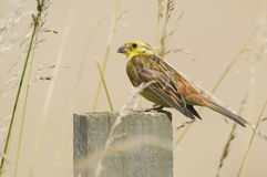 Yellowhammer(Emberiza citrinella) on post. Stock Photography