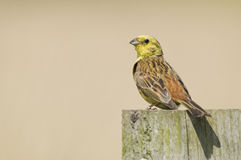 Yellowhammer(Emberiza citrinella) on post. Royalty Free Stock Images