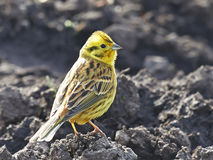 Yellowhammer (Emberiza citrinella) Stock Image