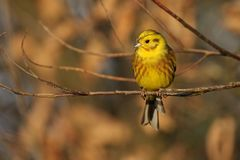 Yellowhammer - Emberiza citrinella Royalty Free Stock Images